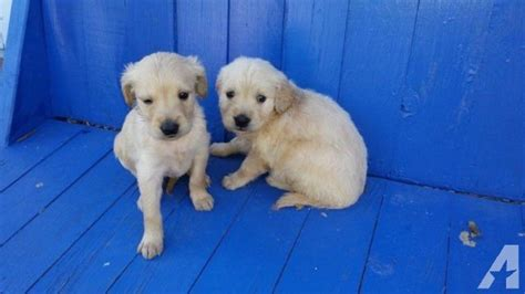 golden retriever puppies adoption wisconsin akc golden retriever puppies for adoption for sale in cascade wisconsin classified