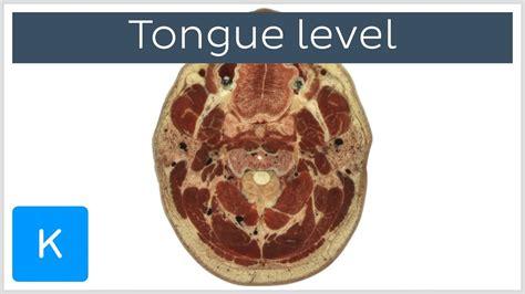 tongue sections video tongue level kenhub