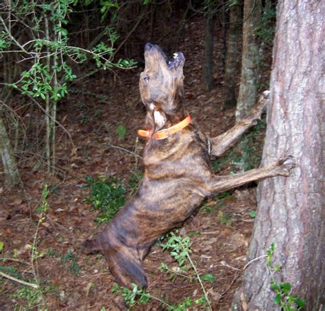 free puppies in tennessee brindle mountain cur dogs breeds picture