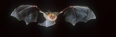 vleermuis in huis weetjes en faq s over vleermuizen natuurpunt