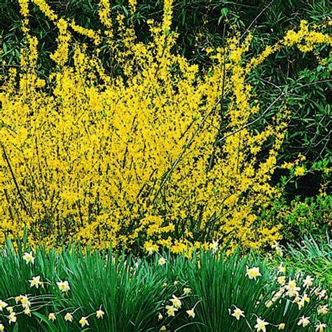 25 best spring is forsythia time images on pinterest