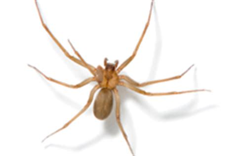 violin pattern on brown recluse brown recluse spider identify brown recluse spider