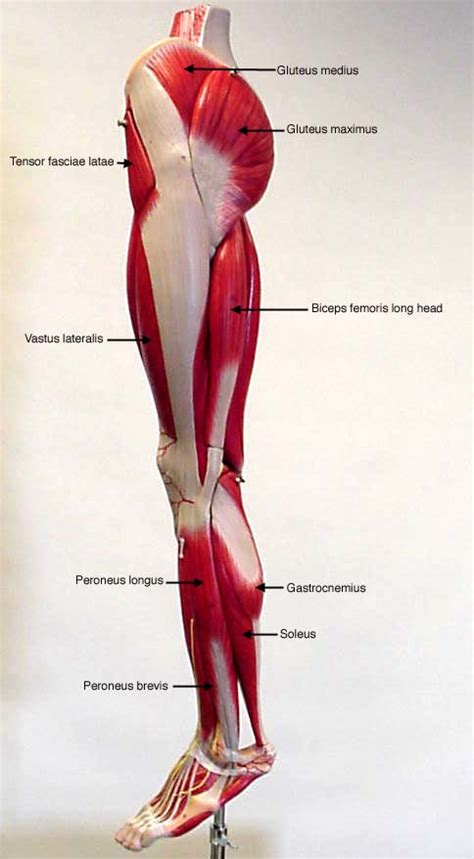 muscular system diagram labeled lateral leg muscles brain