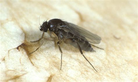 World S Tiniest Fly Is Smaller Than A Grain Of Salt And Tiny Black Flies In The House