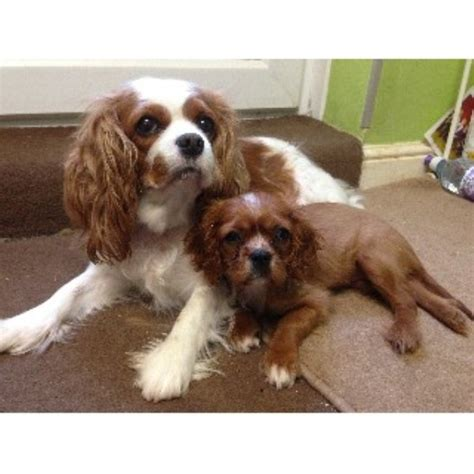 cavalier puppies for adoption cavalier king charles spaniel puppies and dogs for sale and adoption freedoglistings uk