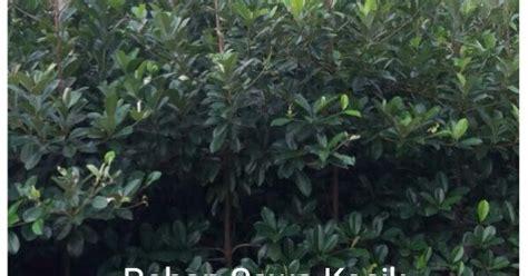 Bromelia Tanaman Hias Fall In M bibit sawo kecik jual tanaman hias tanaman peneduh jual tanaman hias