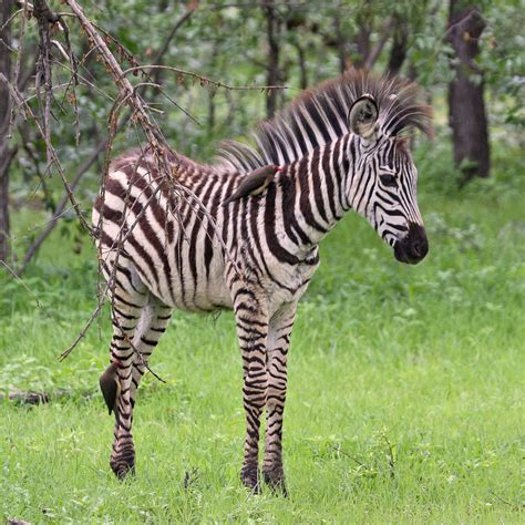 Baby Zebra the gallery for gt baby zebras