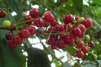 Bibit Serai Merah manfaat daun salam dan buah salam untuk kesehatan