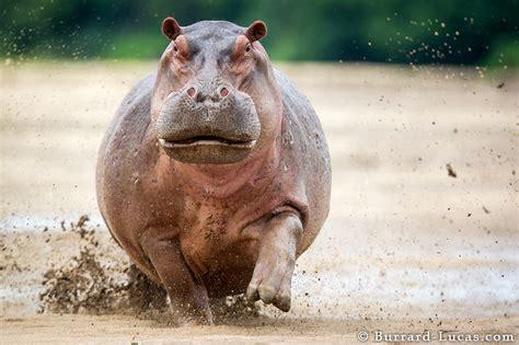 si鑒e social hippopotamus of hippo