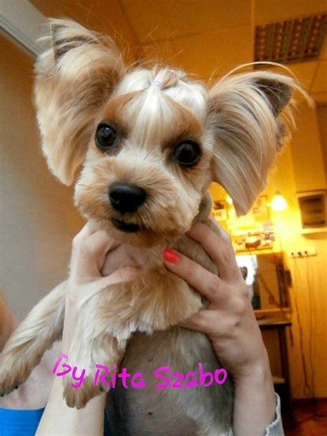 maltese yorkie haircuts 1000 images about my works creative grooming on pinterest