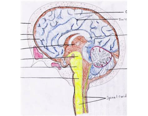 Sagittal Section Of by Sagittal Section Of The Human Brain