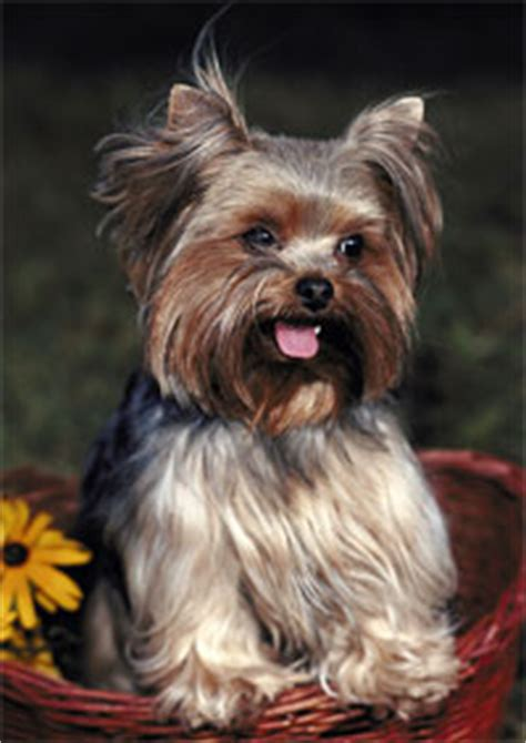 yorkie seizure symptoms terriers info and