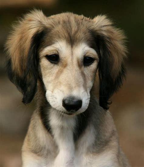 saluki puppy cutest puppy saluki 1 poll results puppies fanpop