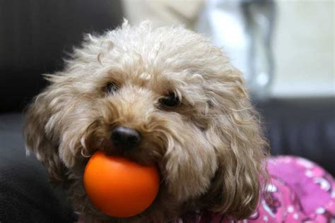 can dogs see colors 狗狗的眼睛到底有沒有色盲 寵物迷 petmily