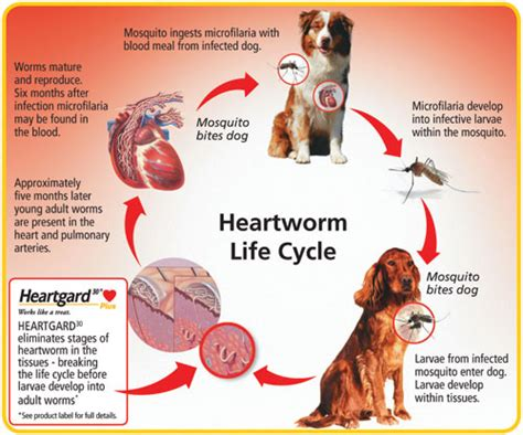 heartworm in dogs heartworm disease in dogs with images 183 bobbunting 183 storify