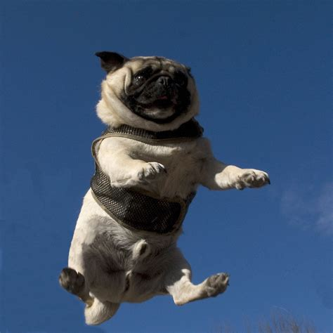 pug lol lol animals puppies dogs pugs refluffs thefluffingtonpost
