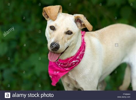 dogs with short floppy ears happy dog is a cute white dog with floppy brown ears