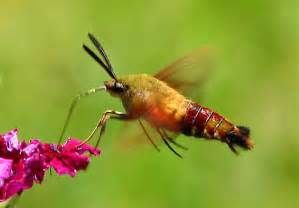 bug like a hummingbird hemaris thysbe bugguide net