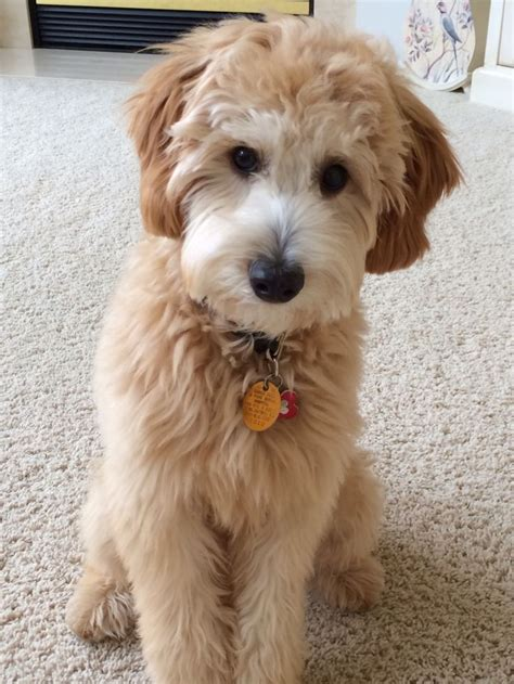 how much are goldendoodle puppies best 20 medium goldendoodle ideas on