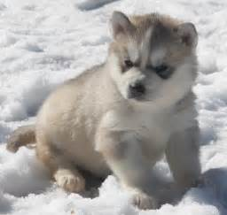 white siberian husky puppies for sale white siberian husky puppy for sale gala husky huskey white siberian