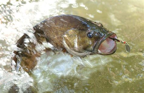 Bass Fisch by Bass Fishing Wallpaper Backgrounds Wallpaper Cave