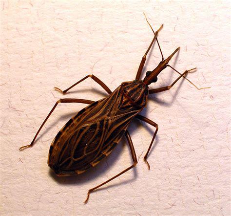 ebola  bad chagas  kissing bug disease