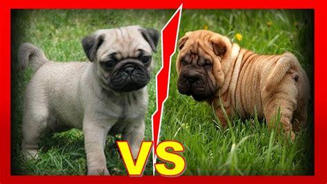 pug carlino caracteristicas pug carlino vs sharpei 191 cu 225 l elegir