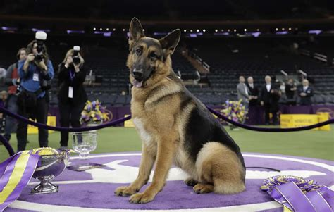 show dogs an open letter to the westminster kennel club