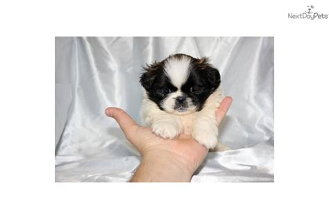 shih tzu puppies for sale in california teacup shih tzu puppies for sale in los angeles california