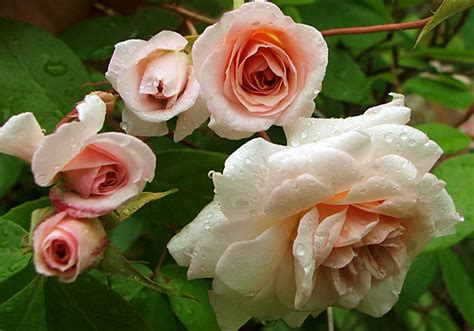 climbing cecile brunner rose