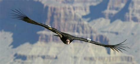 lets draw endangered species california condor