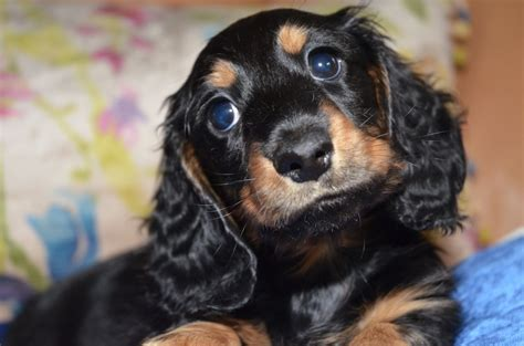haired dachshund puppies miniature haired dachshund puppies ready now olney