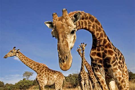 giraffes spend  evenings humming     scientist