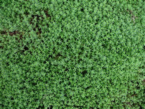 online plant guide thymus choratus chor thyme