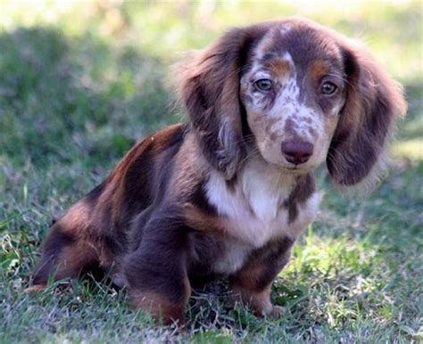 dachshund puppies for sale rochester ny dachshund longhaired puppies for sale merry photo