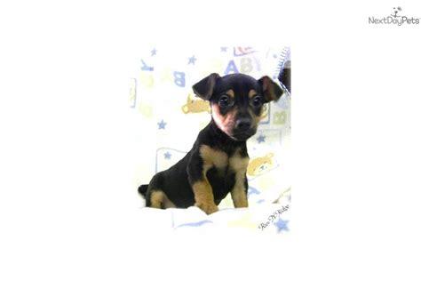teddy roosevelt terrier puppies for sale meet pete a rat terrier puppy for sale for 400 pete teddy roosevelt terrier