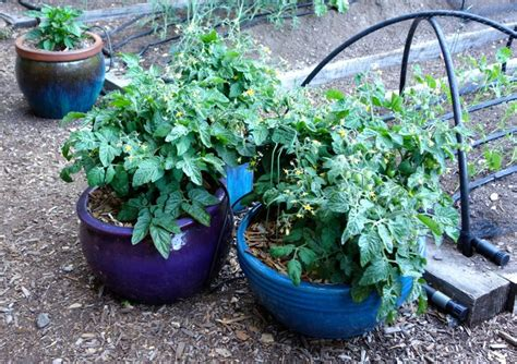 container gardening seeds 17 best images about container gardens from seed on