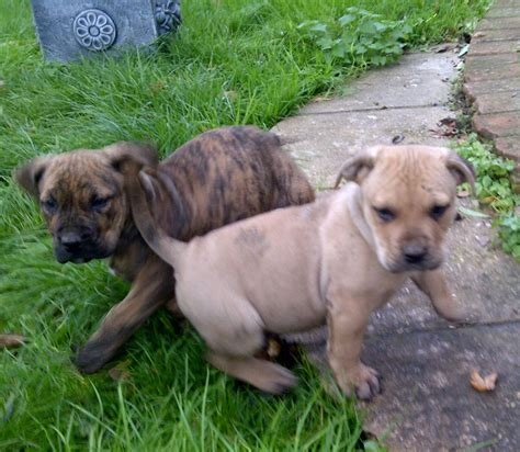 presa canario dogs presa canario puppies ready now norfolk pets4homes