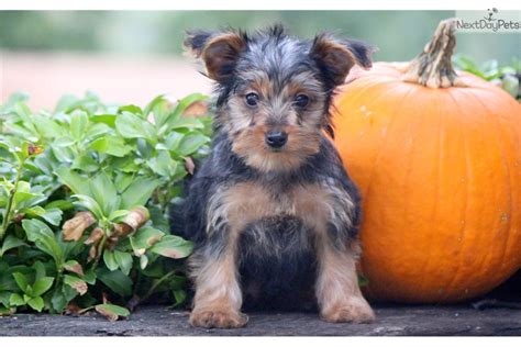 yorkies for sale in lancaster pa ace yorkie black brown terrier for sale in lancaster pa