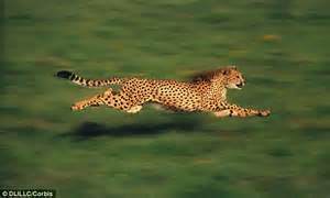 How Fast Does A Jaguar Go Cheetah Genes Mutated To Boost Strength And Make It