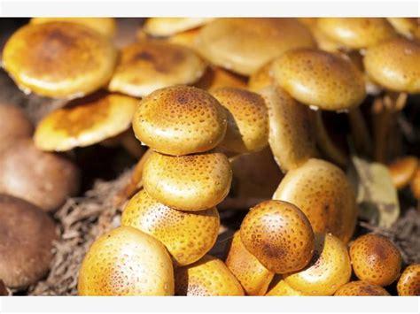 Pilze Im Garten Kultivieren by Speise Pilze Selber Anbauen Mein Sch 246 Ner Garten