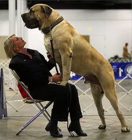 Largest Dog Breeds In The World 2013 - Dog : Pet Photos ... Largest Dog In The World 2014