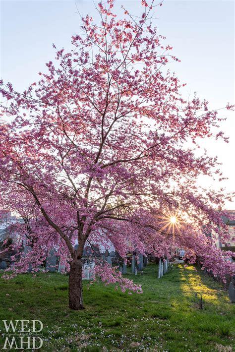 1 cherry tree groveland ma cherry blossoms at peak bloom harris cemetery marblehead ma