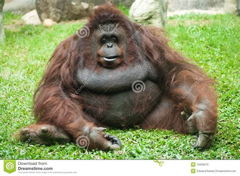 orangutan female stock photo image  zoos monkeys
