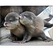 Cute Baby Otters 9111 Hd Wallpapers In Animals  Imagescicom