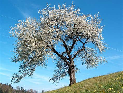 cherry tree genus prunus