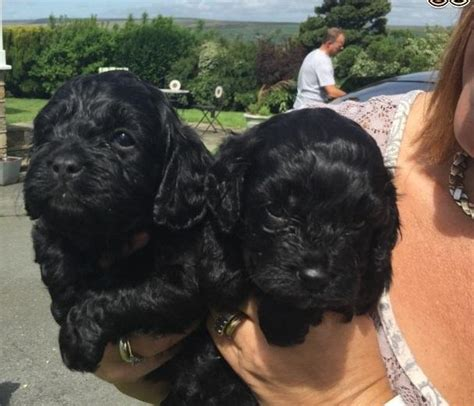 cavapoo puppies for sale in sc beautiful cavapoo puppies dogs buy or for sale price