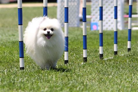 pomeranian agility pomeranian breed talent hounds
