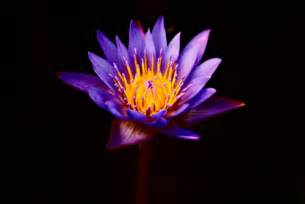Purple Lotus Purple Lotus Flower Flower Hd Wallpapers Images