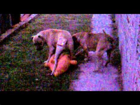 ataques de brutal ataque de 2 perros pitbull a un pobre animalito youtube